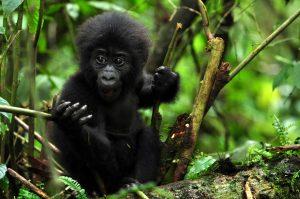 Pearl Afric 3 Days Gorilla Tracking Safari