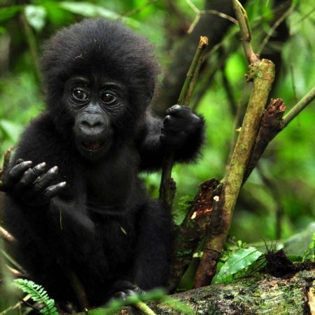 Pearl Afric 3 Days Gorilla Tracking Safari